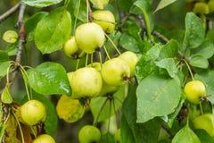 Άγρια μήλα καβουριών του Μαίην Στοκ φωτογραφία με δικαίωμα ελεύθερης χρήσης