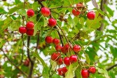 Άγρια μήλα καβουριών του Μαίην Στοκ Εικόνες