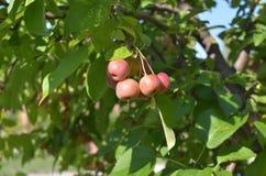 Άγρια μήλα στο δέντρο Στοκ φωτογραφία με δικαίωμα ελεύθερης χρήσης