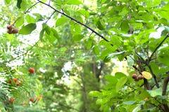 Άγρια μήλα Στοκ εικόνες με δικαίωμα ελεύθερης χρήσης