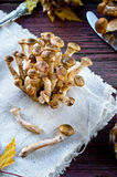 Άγρια μανιτάρια αγαρικών μελιού στο ξύλινο υπόβαθρο Στοκ Φωτογραφίες