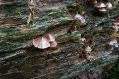 Άγρια μανιτάρια που αυξάνονται σε ένα πεσμένο κούτσουρο στοκ εικόνα με δικαίωμα ελεύθερης χρήσης