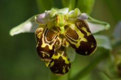 Άγρια μελισσών δυσμορφία labellum ορχιδεών τριπλή - apifera Ophrys Στοκ εικόνα με δικαίωμα ελεύθερης χρήσης