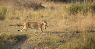 Άγρια μητέρα λιονταριών Στοκ εικόνα με δικαίωμα ελεύθερης χρήσης