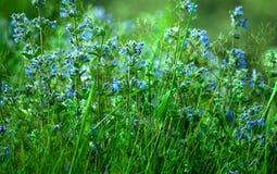 Άγρια μικρά μπλε λουλούδια στην πράσινη χλόη στοκ εικόνες
