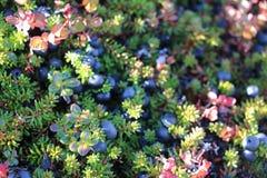 Άγρια μούρα, βακκίνια, Greenlandic berrya στο ίχνος αρκτικών κύκλων στοκ φωτογραφία