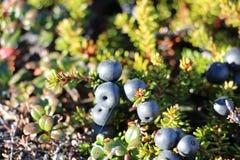 Άγρια μούρα, βακκίνια, Greenlandic berrya στο ίχνος αρκτικών κύκλων στοκ φωτογραφία με δικαίωμα ελεύθερης χρήσης