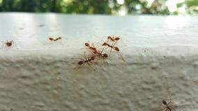 άγρια μυρμήγκια Στοκ Φωτογραφίες
