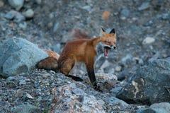 Άγρια νέα κόκκινη αλεπού στη φυσική ρύθμιση στα βορειοδυτικά εδάφη σούρουπου Στοκ φωτογραφία με δικαίωμα ελεύθερης χρήσης