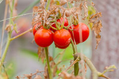 Άγρια ντομάτα, αγάπη Apple Στοκ εικόνες με δικαίωμα ελεύθερης χρήσης