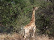 Άγρια Νότια Αφρική Στοκ Εικόνες