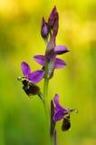 Άγρια ορχιδέα υβριδικό Oprhys Χ σχεδιάγραμμα λουλουδιών Turiana στο ηλιοφώτιστο κλίμα Στοκ Φωτογραφίες