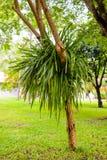 Άγρια ορχιδέα aloifolium Cymbidium στον κήπο Στοκ εικόνα με δικαίωμα ελεύθερης χρήσης
