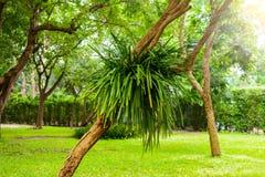 Άγρια ορχιδέα aloifolium Cymbidium στον κήπο Στοκ Φωτογραφία
