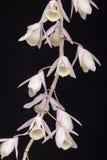 Άγρια ορχιδέα (aphyllum Dendrobium) Στοκ εικόνες με δικαίωμα ελεύθερης χρήσης