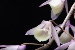 Άγρια ορχιδέα (aphyllum Dendrobium) Στοκ φωτογραφία με δικαίωμα ελεύθερης χρήσης