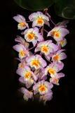 Άγρια ορχιδέα Dendrobium amabile Hainan Κίνα και στο Βιετνάμ Πορτοκαλί λουλούδι, βιότοπος φύσης Όμορφη άνθιση ορχιδεών, λεπτομέρε Στοκ Φωτογραφία