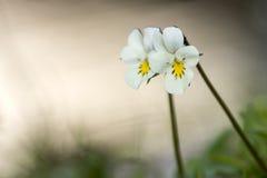 Άγρια λουλούδια βιολέτων Στοκ Φωτογραφία