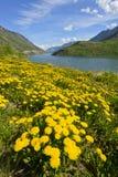 Άγρια λουλούδια κοντά στη λίμνη Tutshi Στοκ εικόνα με δικαίωμα ελεύθερης χρήσης