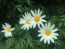 Άγρια λουλούδια μαργαριτών Στοκ Εικόνα