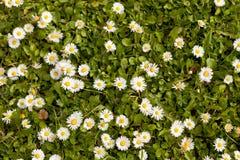 Άγρια λουλούδια μαργαριτών Στοκ φωτογραφίες με δικαίωμα ελεύθερης χρήσης