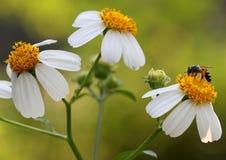 Άγρια λουλούδια με τις μέλισσες Στοκ Φωτογραφία