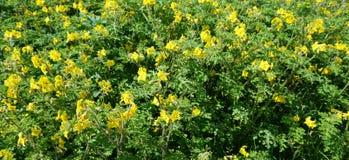 Άγρια λουλούδια ντοματών Στοκ φωτογραφία με δικαίωμα ελεύθερης χρήσης