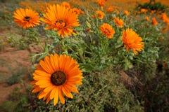 Άγρια λουλούδια - Νότια Αφρική Στοκ Εικόνα