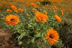 Άγρια λουλούδια - Νότια Αφρική Στοκ φωτογραφίες με δικαίωμα ελεύθερης χρήσης