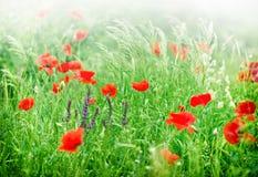 Άγρια λουλούδια παπαρουνών Στοκ Φωτογραφία