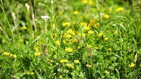 Άγρια λουλούδια στον τομέα που κυματίζει στον αέρα - κινηματογράφηση σε πρώτο πλάνο απόθεμα βίντεο
