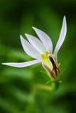 Άγρια λουλούδια στο δάσος, Chiang Mai, Ταϊλάνδη Στοκ εικόνες με δικαίωμα ελεύθερης χρήσης