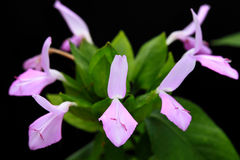 Άγρια λουλούδια στο δάσος, Chiang Mai, Ταϊλάνδη Στοκ φωτογραφίες με δικαίωμα ελεύθερης χρήσης