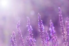 Άγρια λουλούδια της φασκομηλιάς Ιώδη λουλούδια με ένα τονισμένο υπόβαθρο Εκλεκτική εστίαση στοκ εικόνες