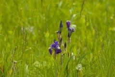 Άγρια λουλούδια 002 της Iris Στοκ φωτογραφίες με δικαίωμα ελεύθερης χρήσης
