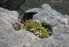 Άγρια λουλούδια του επιτραπέζιου βουνού Στοκ Εικόνες