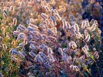 Άγρια λουλούδια του τριφυλλιού λαγός-ποδιών Στοκ Εικόνες