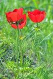 Άγρια λουλούδια Anemone Στοκ Φωτογραφίες