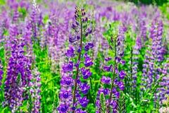 Άγρια λουλούδια Lupine Στοκ Εικόνες