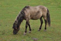 Άγρια περιοχές λίγο άλογο Στοκ εικόνα με δικαίωμα ελεύθερης χρήσης