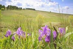 άγρια περιοχές ίριδων Στοκ Εικόνες
