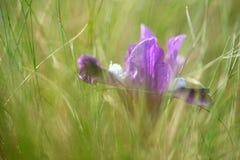 άγρια περιοχές ίριδων Στοκ φωτογραφία με δικαίωμα ελεύθερης χρήσης