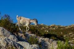άγρια περιοχές αιγών Στοκ φωτογραφία με δικαίωμα ελεύθερης χρήσης