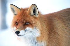 άγρια περιοχές αλεπούδω&nu Στοκ Φωτογραφία