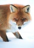 άγρια περιοχές αλεπούδω&nu Στοκ Φωτογραφίες