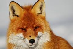 άγρια περιοχές αλεπούδω&nu Στοκ εικόνες με δικαίωμα ελεύθερης χρήσης