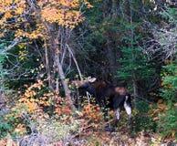 άγρια περιοχές αλκών Στοκ φωτογραφία με δικαίωμα ελεύθερης χρήσης