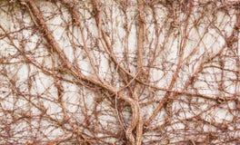 άγρια περιοχές αμπέλων σταφυλιών Στοκ φωτογραφία με δικαίωμα ελεύθερης χρήσης