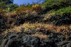 Άγρια περιοχές ανάπτυξης Succulents στο βράχο επάνω από τον ωκεανό Στοκ Εικόνες