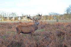 άγρια περιοχές αρσενικών ελαφιών Στοκ Φωτογραφίες